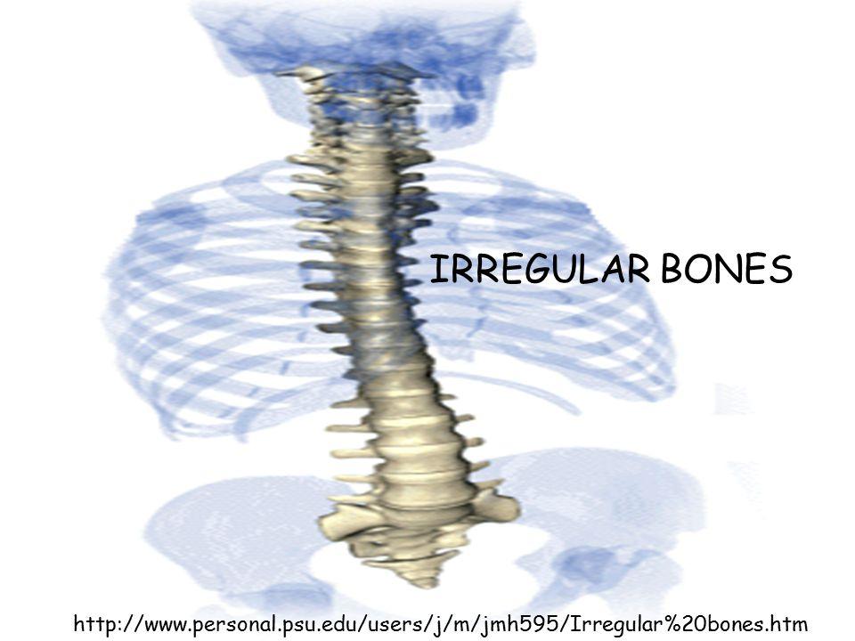 http://www.personal.psu.edu/users/j/m/jmh595/Irregular%20bones.htm IRREGULAR BONES