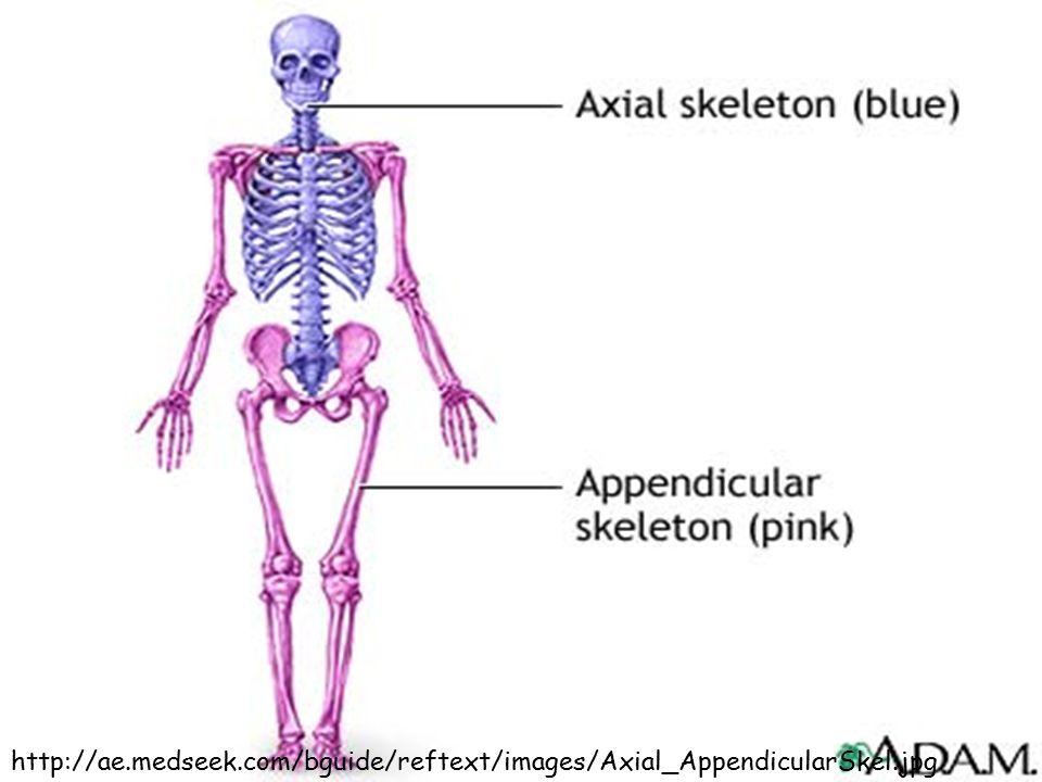 http://ae.medseek.com/bguide/reftext/images/Axial_AppendicularSkel.jpg