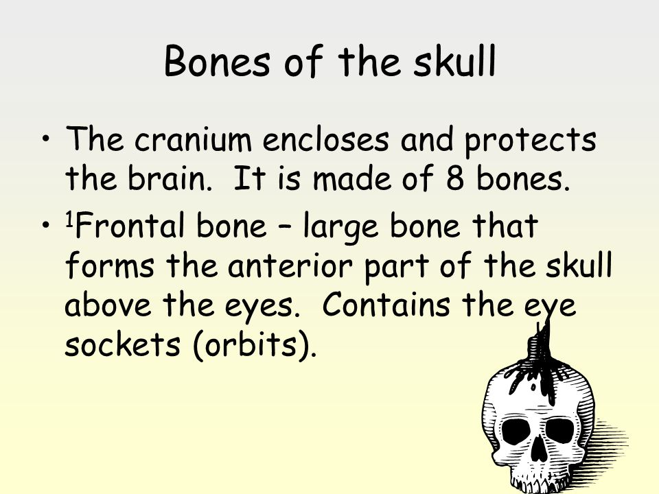 Bones of the skull The cranium encloses and protects the brain. It is made of 8 bones. 1 Frontal bone – large bone that forms the anterior part of the