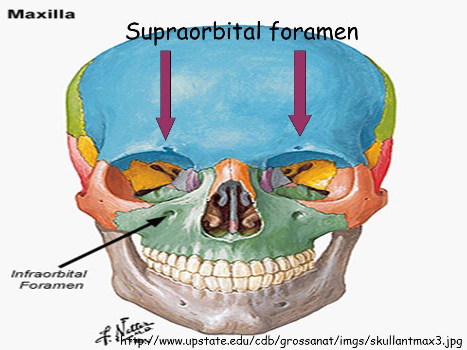 http://www.upstate.edu/cdb/grossanat/imgs/skullantmax3.jpg Supraorbital foramen