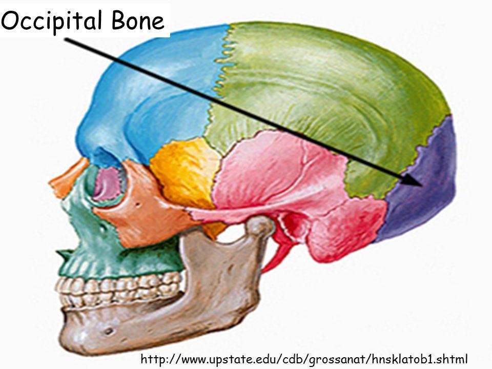 http://www.upstate.edu/cdb/grossanat/hnsklatob1.shtml Occipital Bone