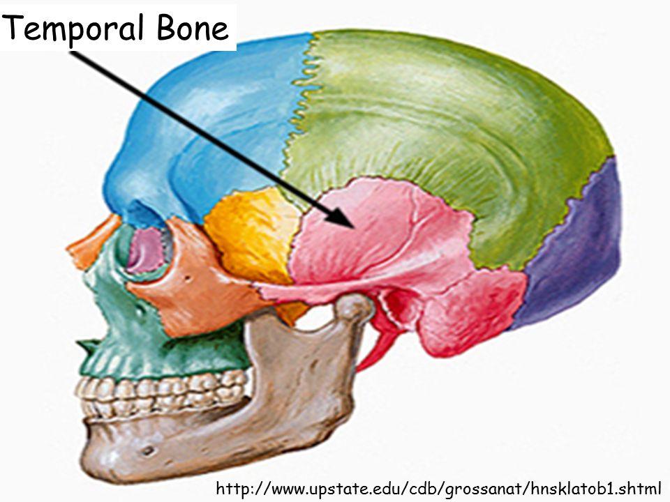 http://www.upstate.edu/cdb/grossanat/hnsklatob1.shtml Temporal Bone