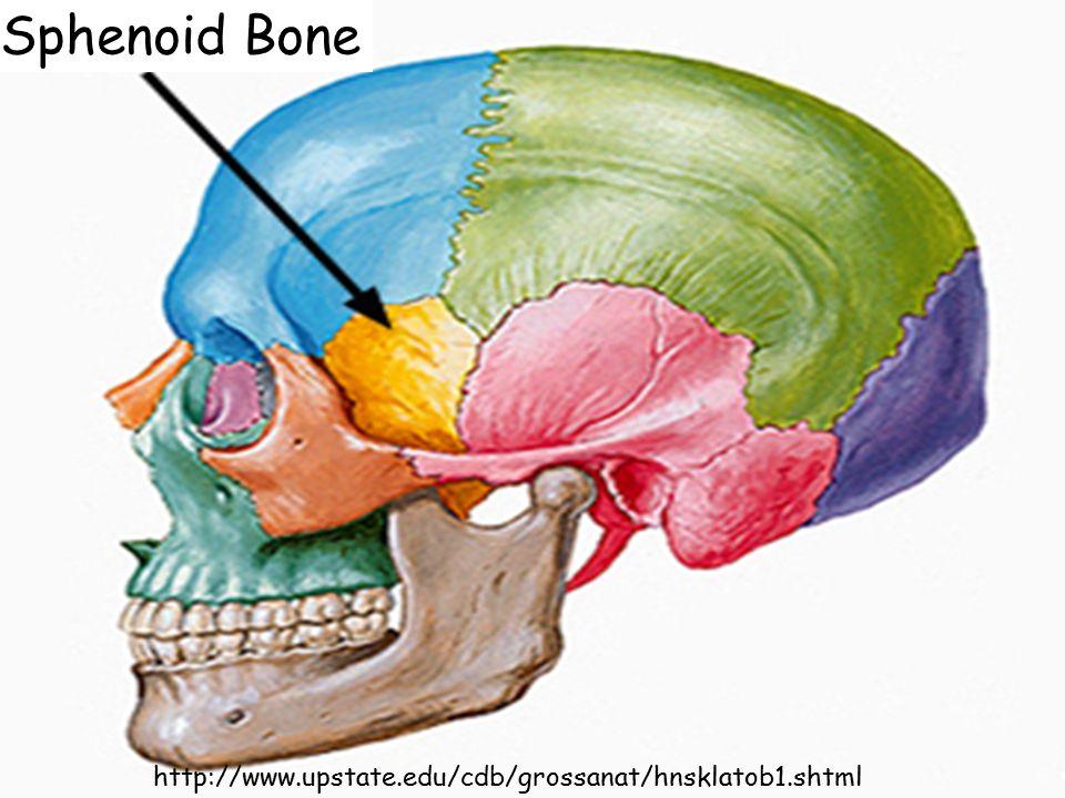 http://www.upstate.edu/cdb/grossanat/hnsklatob1.shtml Sphenoid Bone