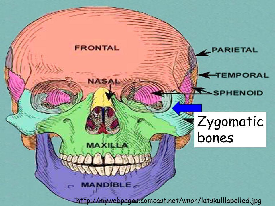 http://mywebpages.comcast.net/wnor/latskulllabelled.jpg Zygomatic bones