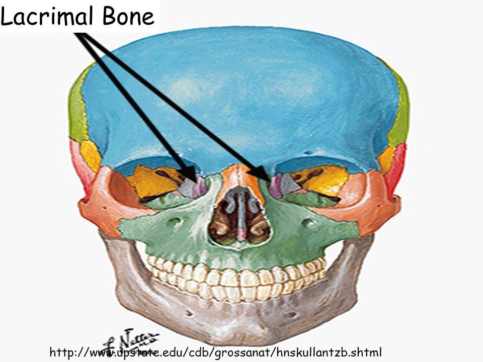 http://www.upstate.edu/cdb/grossanat/hnskullantzb.shtml Lacrimal Bone