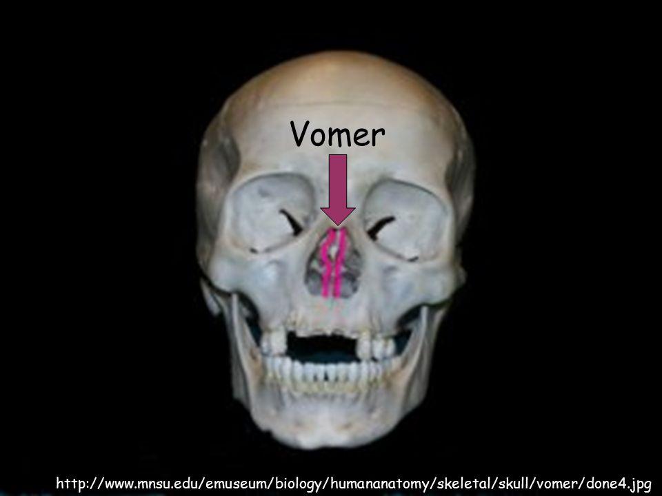 http://www.mnsu.edu/emuseum/biology/humananatomy/skeletal/skull/vomer/done4.jpg Vomer