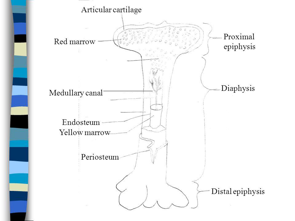 Diaphysis Proximal epiphysis Distal epiphysis Medullary canal Endosteum Yellow marrow Red marrow Periosteum Articular cartilage