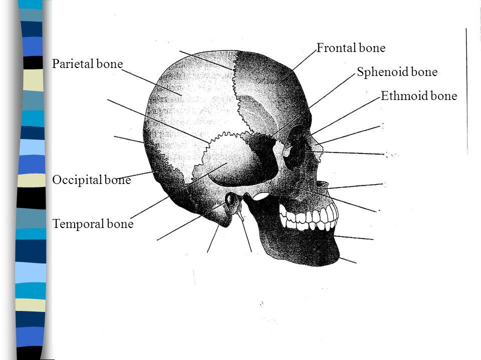 Frontal bone Parietal bone Temporal bone Occipital bone Sphenoid bone Ethmoid bone