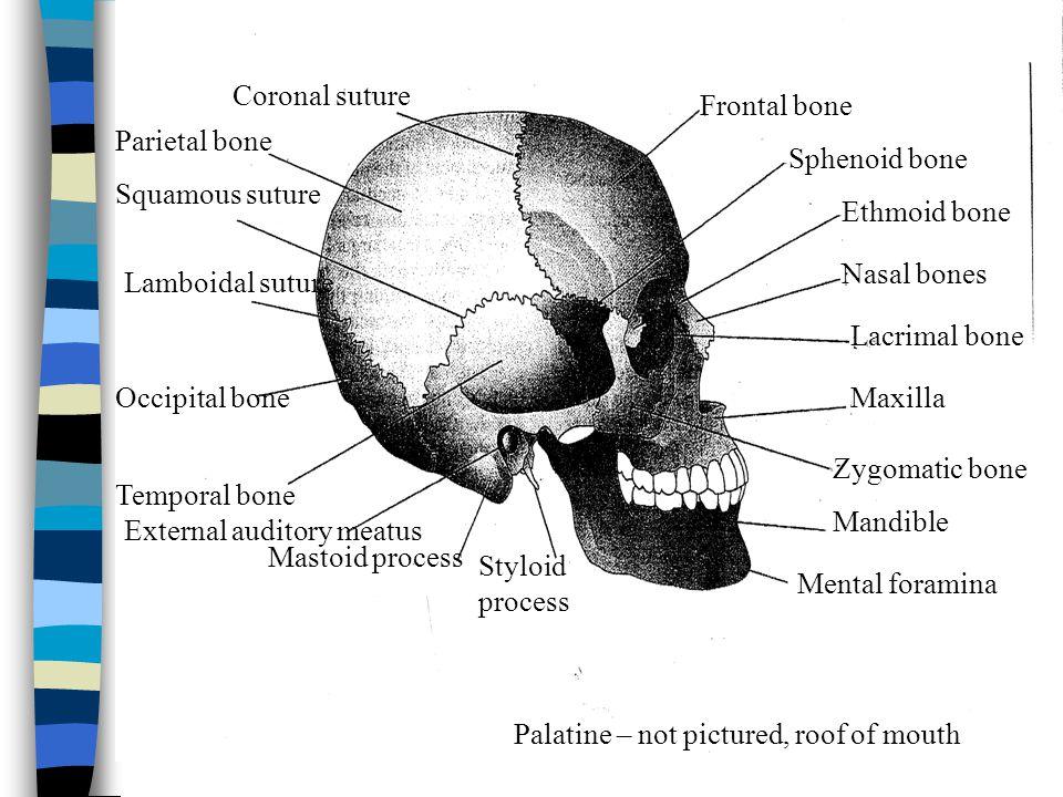 Frontal bone Parietal bone Temporal bone Occipital bone Sphenoid bone Ethmoid bone Mandible Maxilla Zygomatic bone Lacrimal bone Nasal bones Palatine