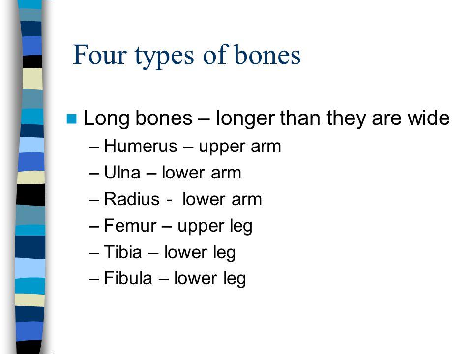 Four types of bones Long bones – longer than they are wide –Humerus – upper arm –Ulna – lower arm –Radius - lower arm –Femur – upper leg –Tibia – lowe