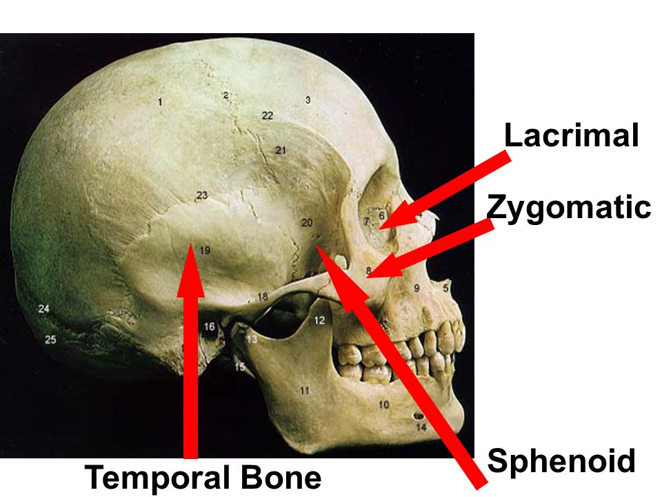 Foramen Magnum Crista Galli (Of the Ethmoid Bone) Optic Canal Sphenoid Sella Turcica