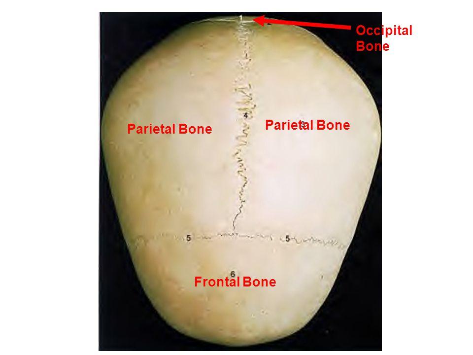 Sagittal Suture Lambdoidal Suture Squamous Suture Coronal Suture