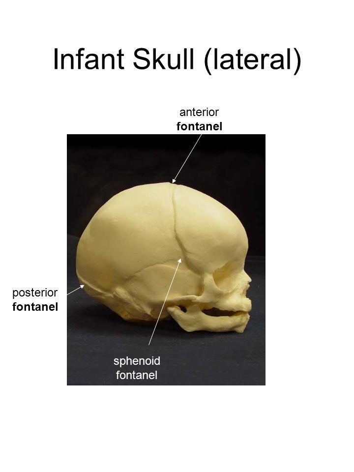 Infant Skull (lateral) anterior fontanel sphenoid fontanel posterior fontanel