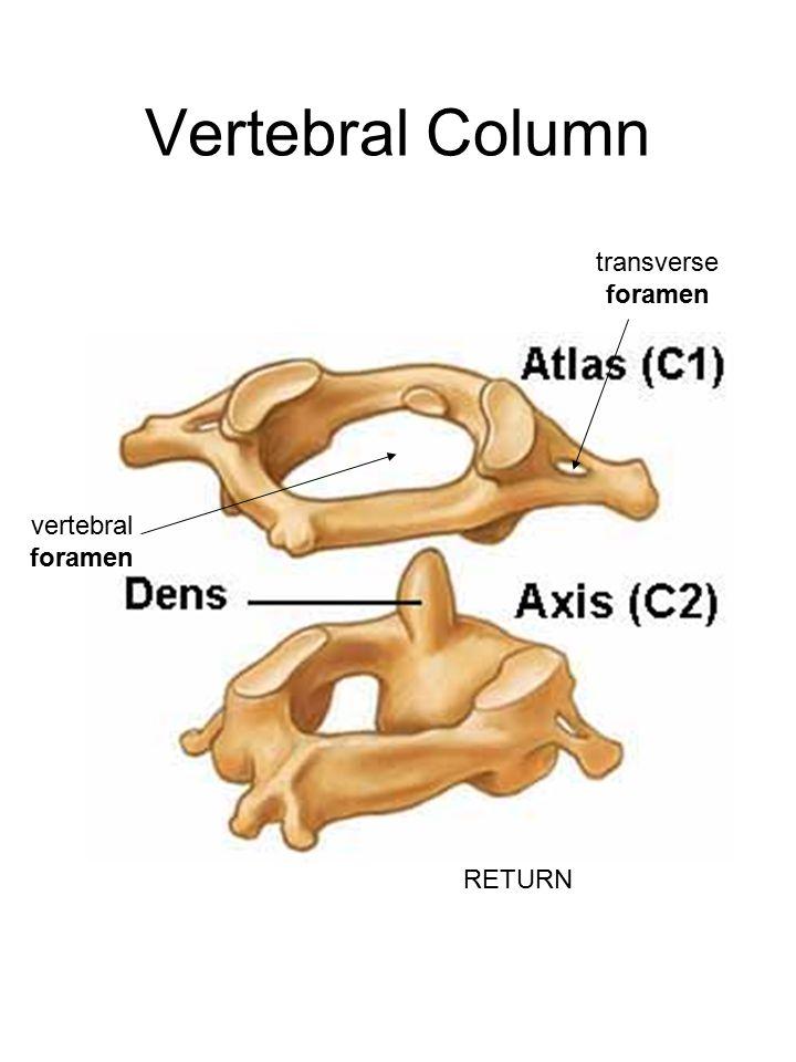 Vertebral Column transverse foramen vertebral foramen RETURN
