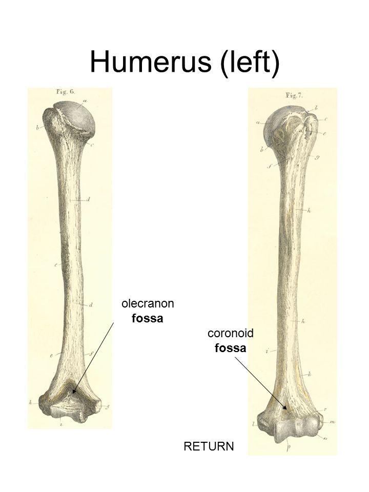 Humerus (left) olecranon fossa coronoid fossa RETURN