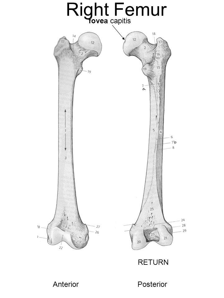 Right Femur AnteriorPosterior fovea capitis RETURN