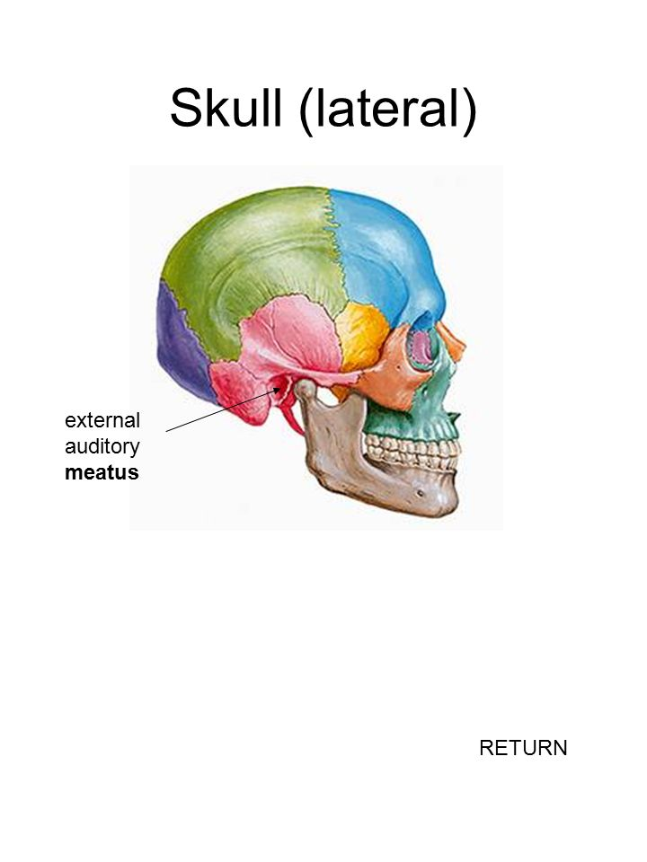 Skull (lateral) external auditory meatus RETURN