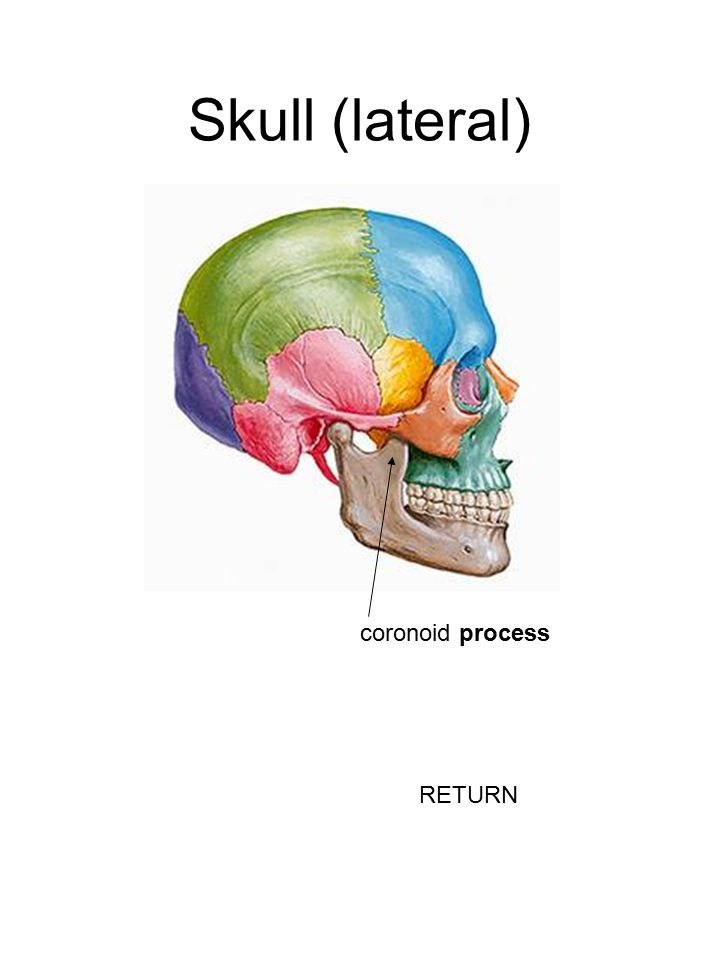 Skull (lateral) coronoid process RETURN