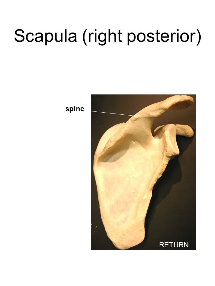 Scapula (right posterior) spine RETURN