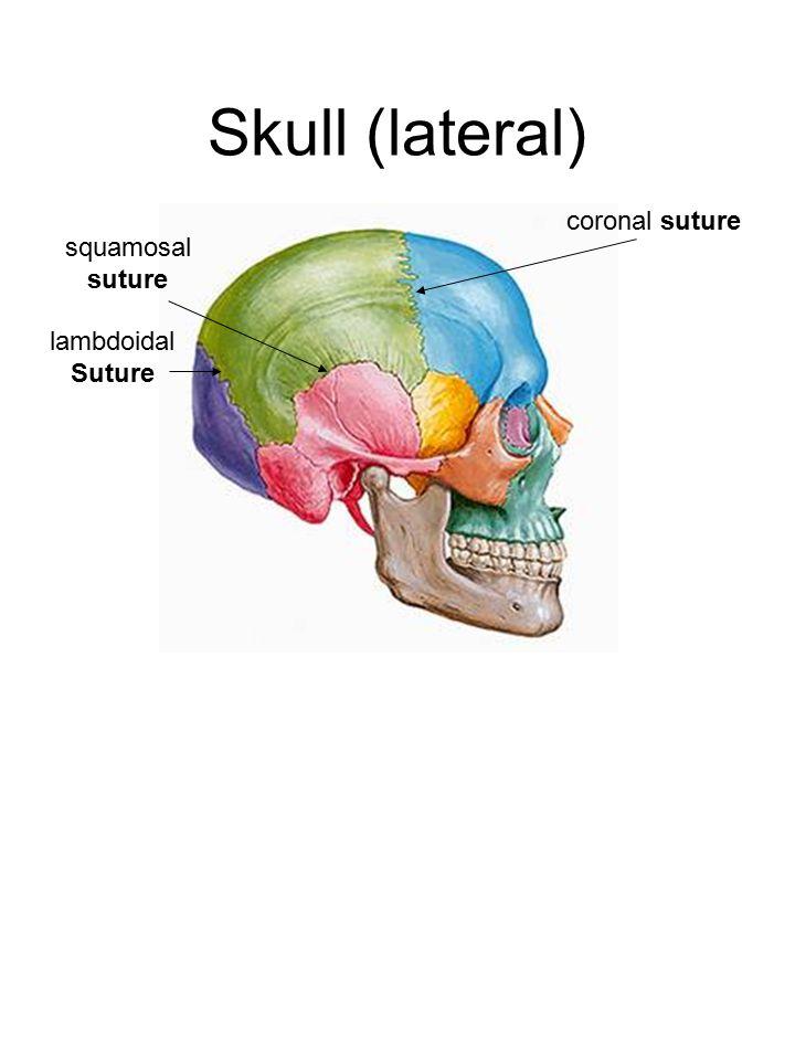 Skull (lateral) coronal suture lambdoidal Suture squamosal suture