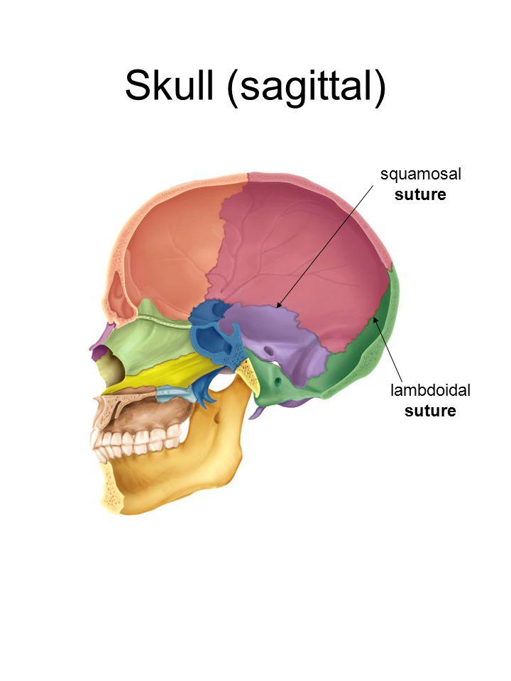 Skull (sagittal) squamosal suture lambdoidal suture