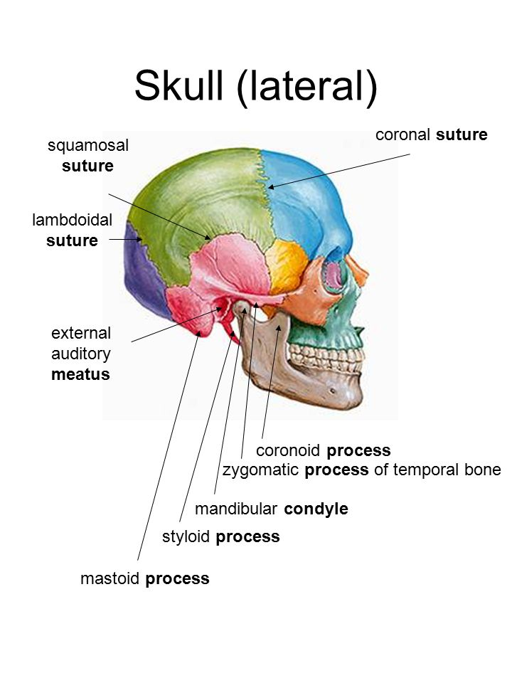 Skull (lateral) coronal suture coronoid process zygomatic process of temporal bone mandibular condyle styloid process mastoid process external auditory meatus lambdoidal suture squamosal suture