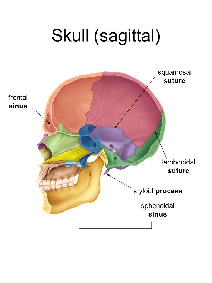 Skull (sagittal) frontal sinus squamosal suture lambdoidal suture styloid process sphenoidal sinus