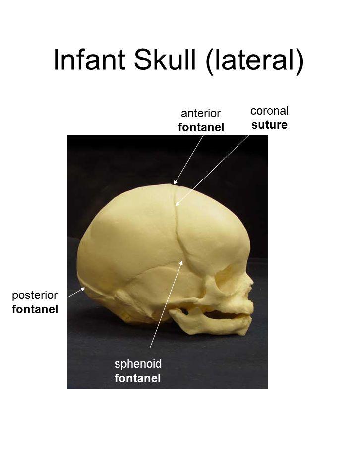 Infant Skull (lateral) anterior fontanel coronal suture sphenoid fontanel posterior fontanel