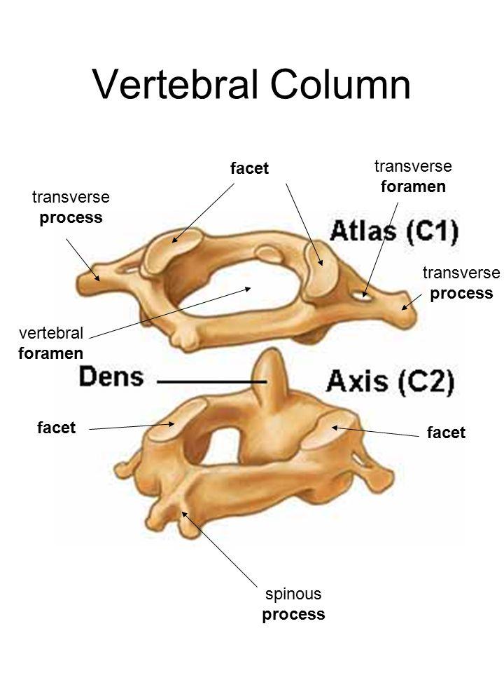 Vertebral Column facet transverse foramen transverse process vertebral foramen facet spinous process transverse process