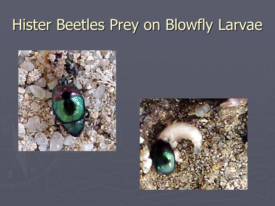 Hister Beetles Prey on Blowfly Larvae