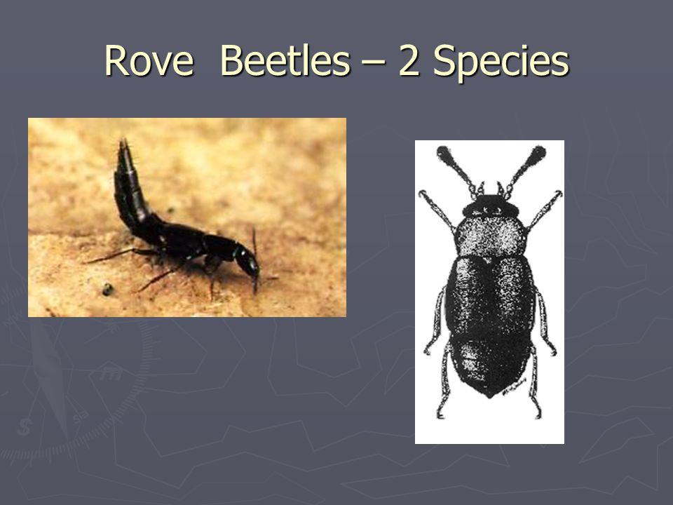 Rove Beetles – 2 Species