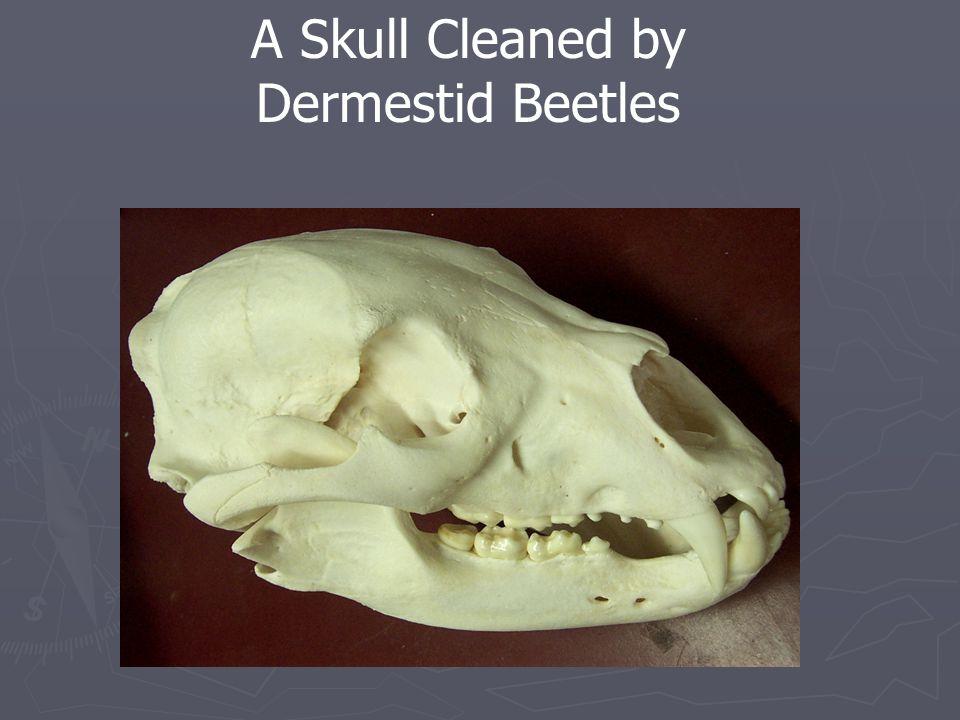 A Skull Cleaned by Dermestid Beetles