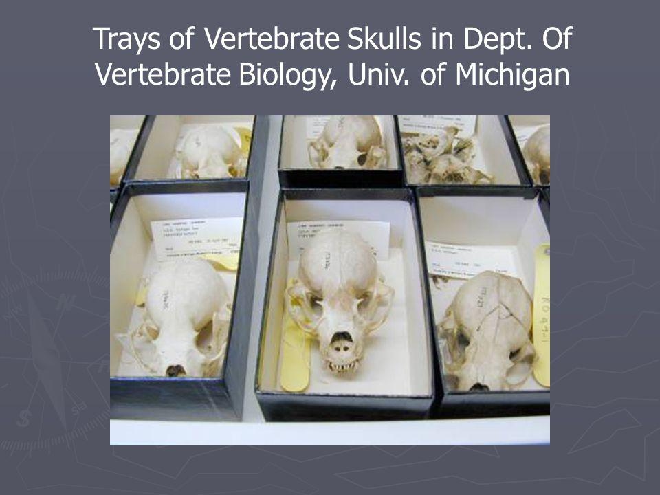 Trays of Vertebrate Skulls in Dept. Of Vertebrate Biology, Univ. of Michigan