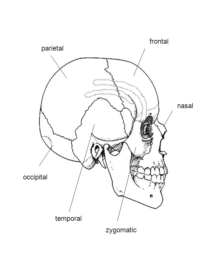 frontal parietal occipital temporal nasal zygomatic