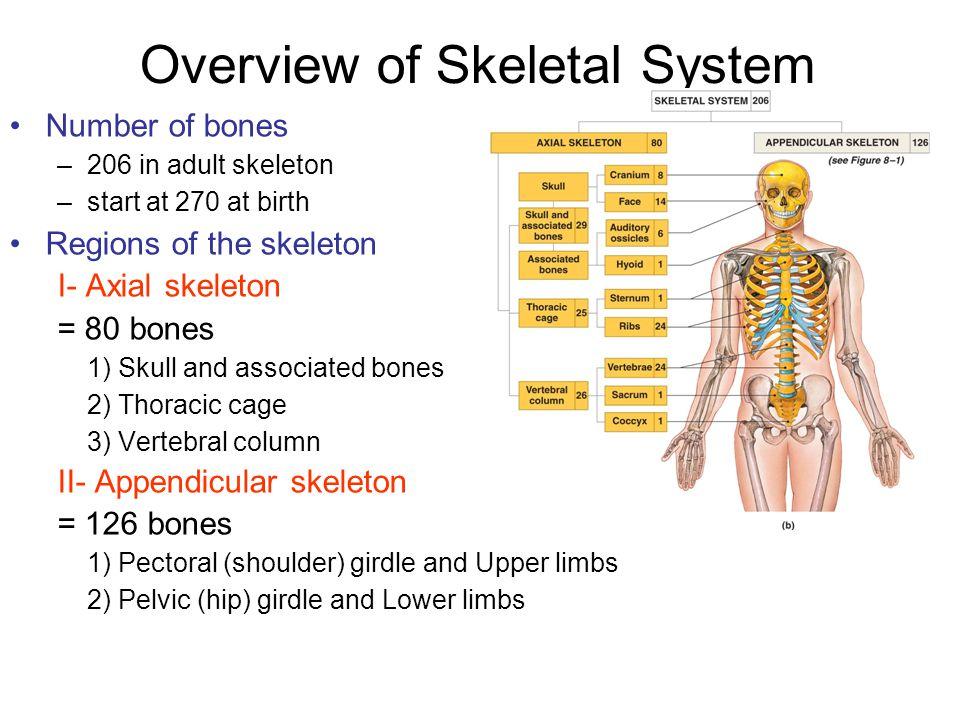 Skull: Cranial Bones 8 Cranial bones – frontal (1), parietal (2), occipital (1), temporal (2), sphenoid (1), and ethmoid (1) 7 associated bones – auditory ossicles (6) and hyoid bone (1)