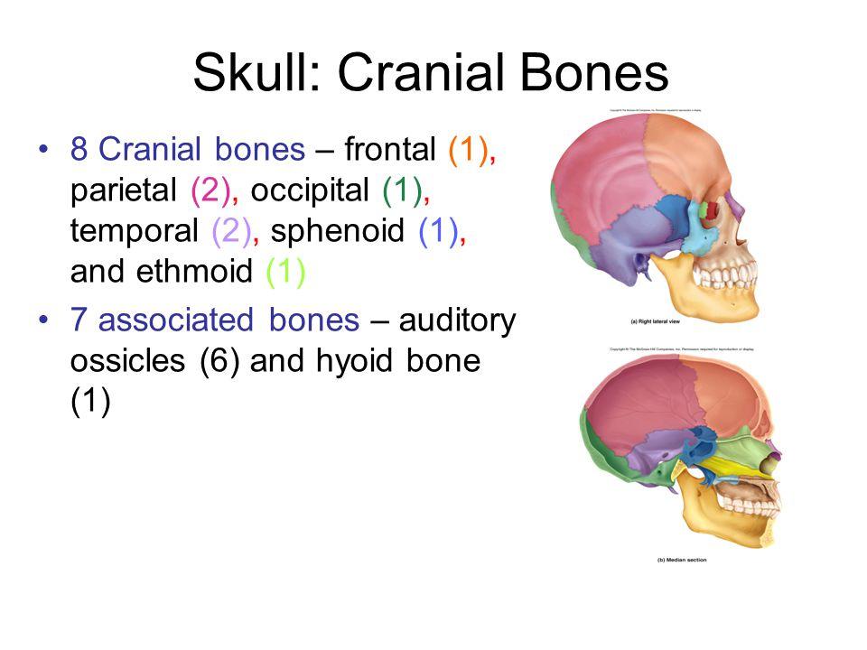 Sutures Calvaria (skullcap) is formed by frontal, parietal, and occipital bones Sutures: ___ between the frontal bone and parietal bone.