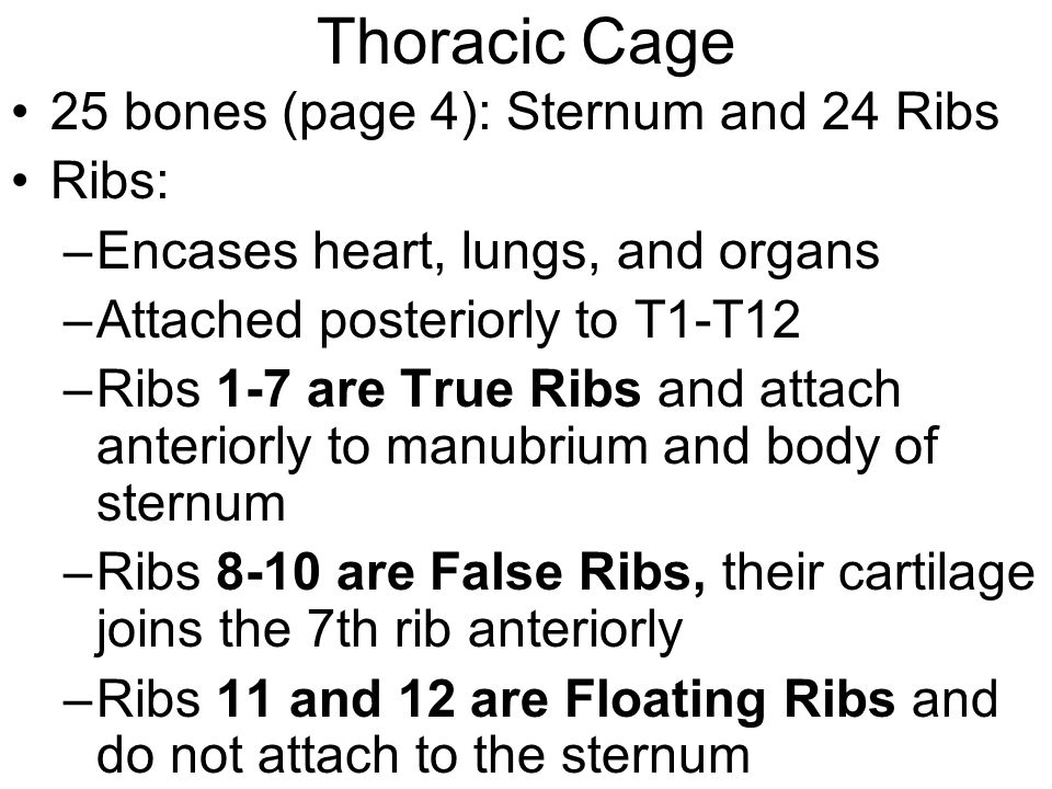 Thoracic Cage 25 bones (page 4): Sternum and 24 Ribs Ribs: –Encases heart, lungs, and organs –Attached posteriorly to T1-T12 –Ribs 1-7 are True Ribs a