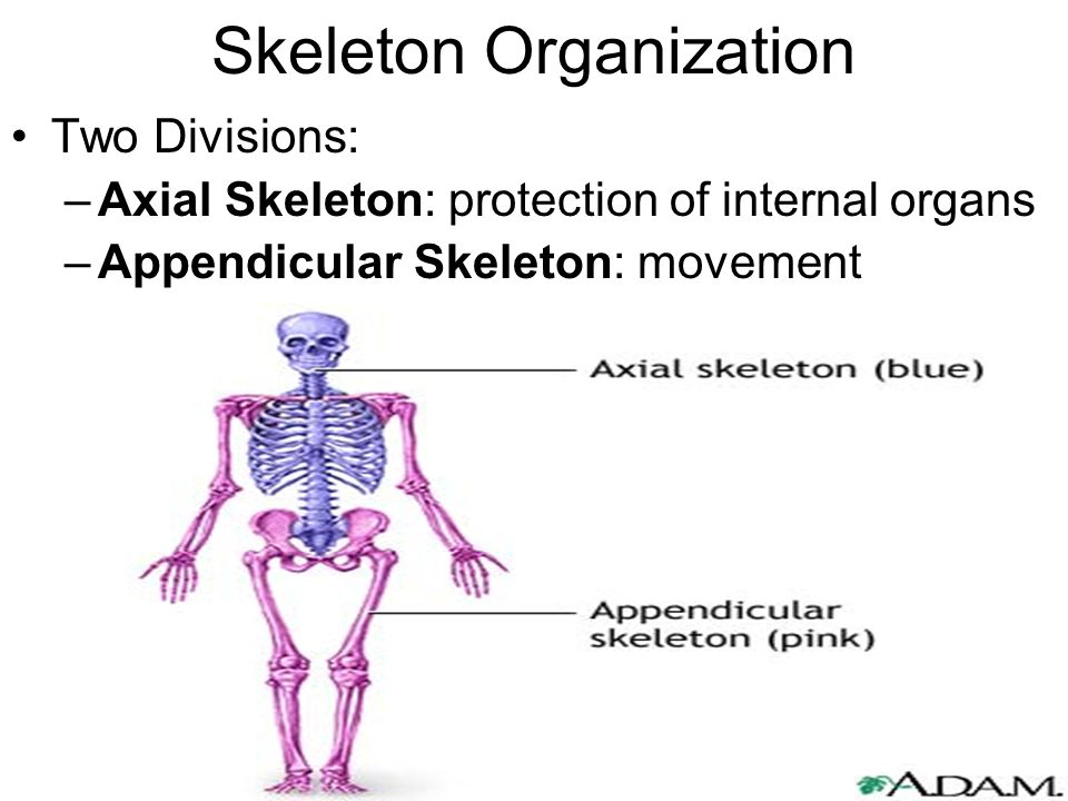 Skeleton Organization Two Divisions: –Axial Skeleton: protection of internal organs –Appendicular Skeleton: movement