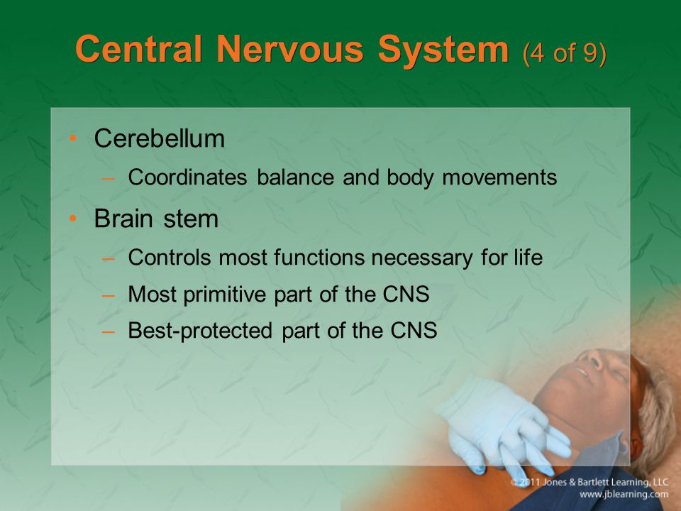Central Nervous System (4 of 9) Cerebellum –Coordinates balance and body movements Brain stem –Controls most functions necessary for life –Most primit