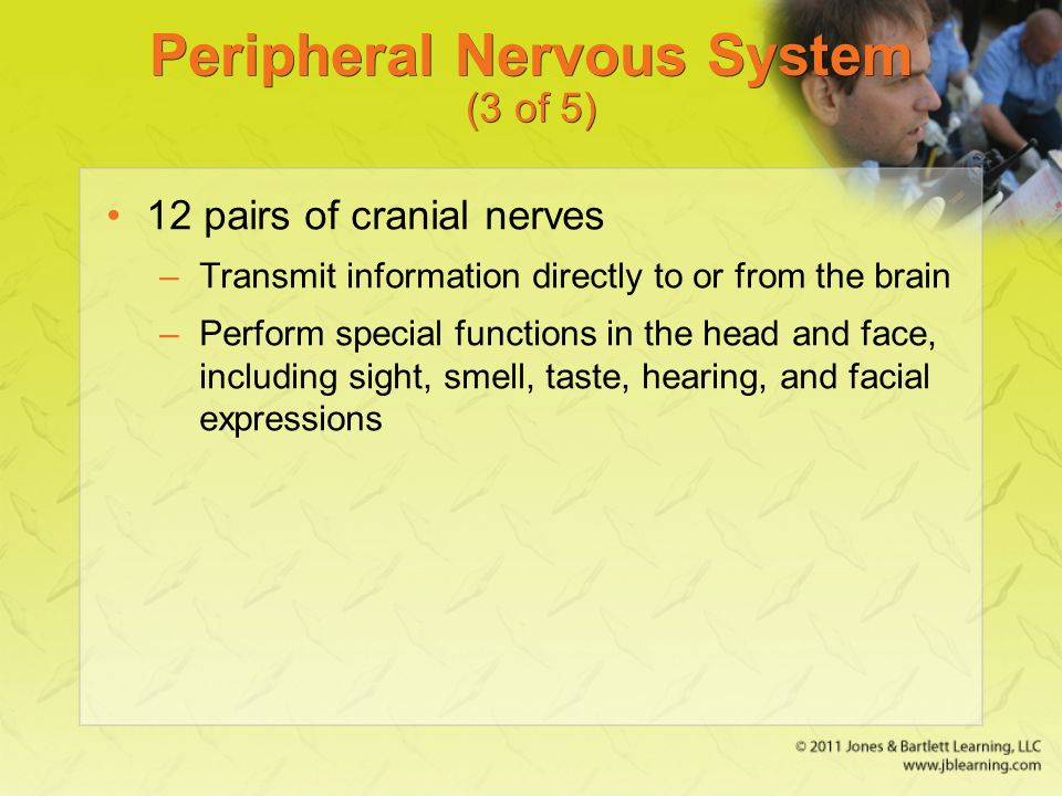 Peripheral Nervous System (3 of 5) 12 pairs of cranial nerves –Transmit information directly to or from the brain –Perform special functions in the he