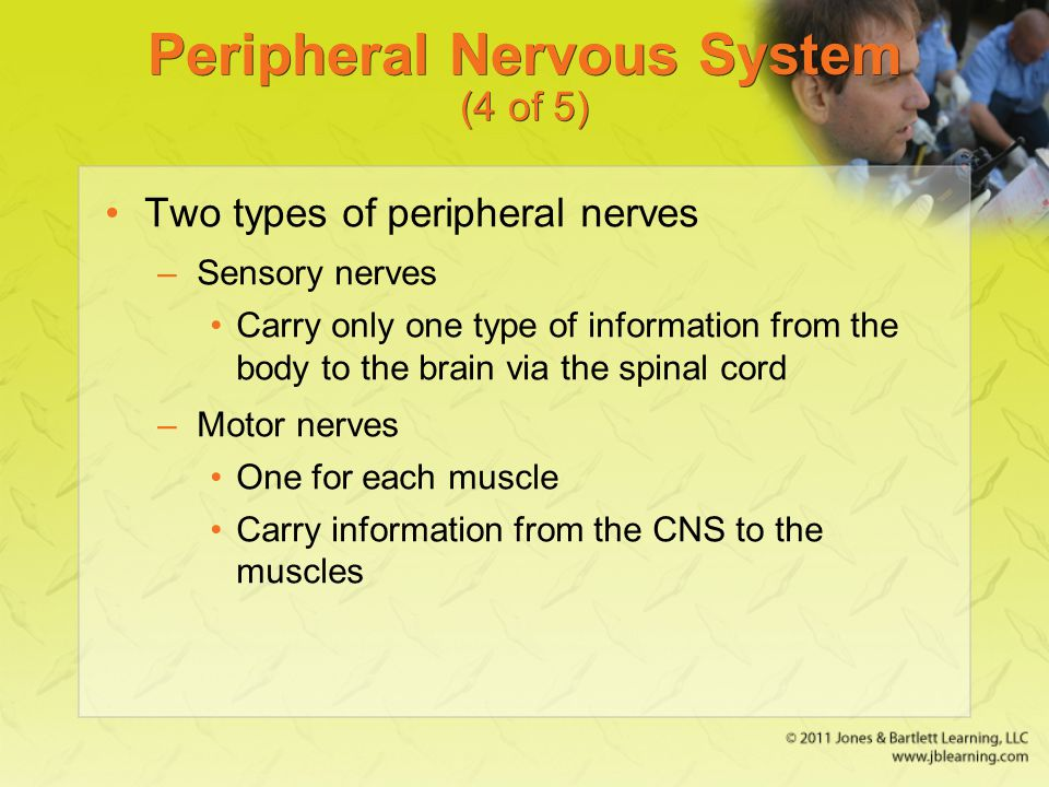 Peripheral Nervous System (4 of 5) Two types of peripheral nerves –Sensory nerves Carry only one type of information from the body to the brain via th