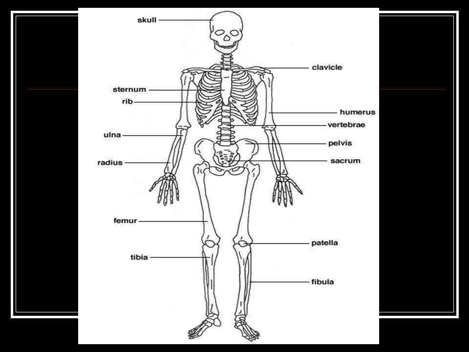 Skeletal Characteristics Caucasoid Long, narrow nasal aperture Triangular palate Oval orbits Narrow zygomatic arches Narrow mandible