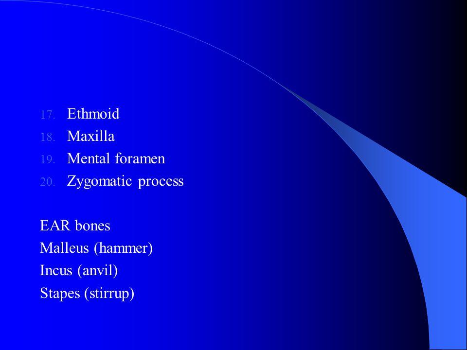 17. Ethmoid 18. Maxilla 19. Mental foramen 20. Zygomatic process EAR bones Malleus (hammer) Incus (anvil) Stapes (stirrup)