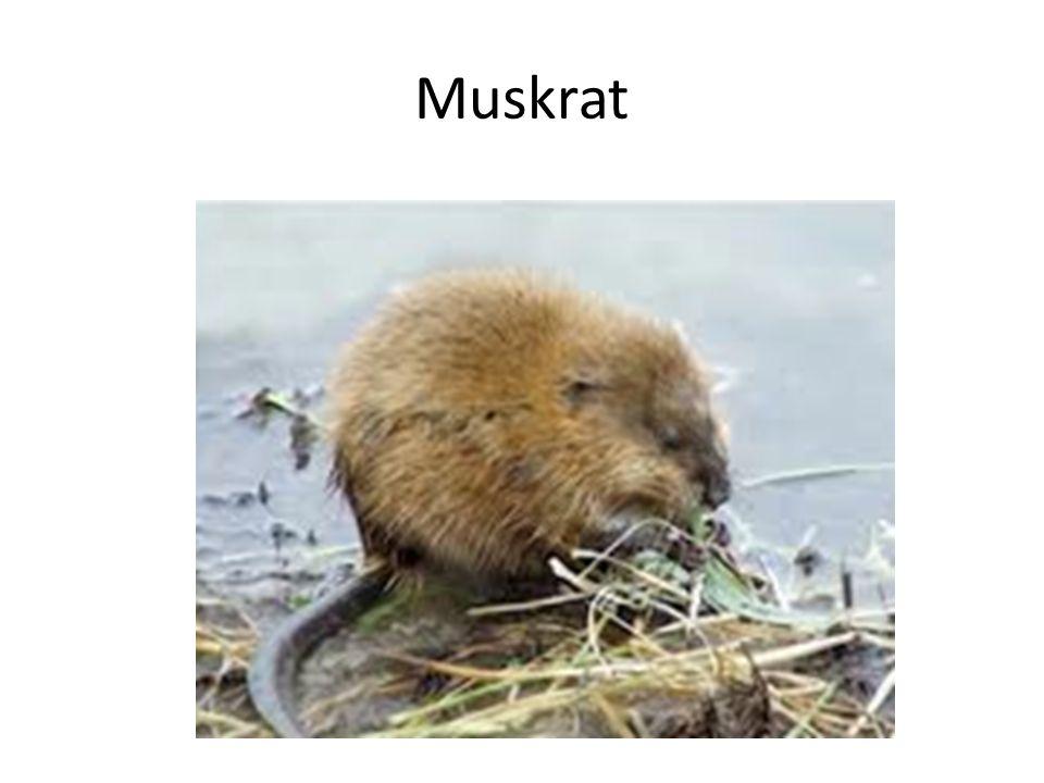 Muskrat