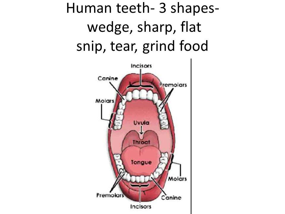 Human teeth- 3 shapes- wedge, sharp, flat snip, tear, grind food