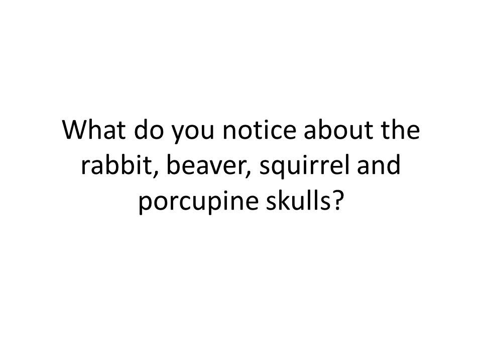What do you notice about the rabbit, beaver, squirrel and porcupine skulls