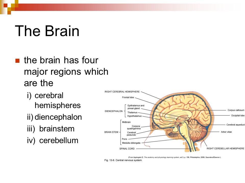 The Brain the brain has four major regions which are the i)cerebral hemispheres ii)diencephalon iii)brainstem iv)cerebellum