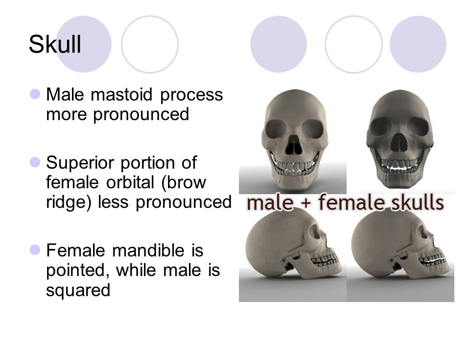 Skull Male mastoid process more pronounced Superior portion of female orbital (brow ridge) less pronounced Female mandible is pointed, while male is s