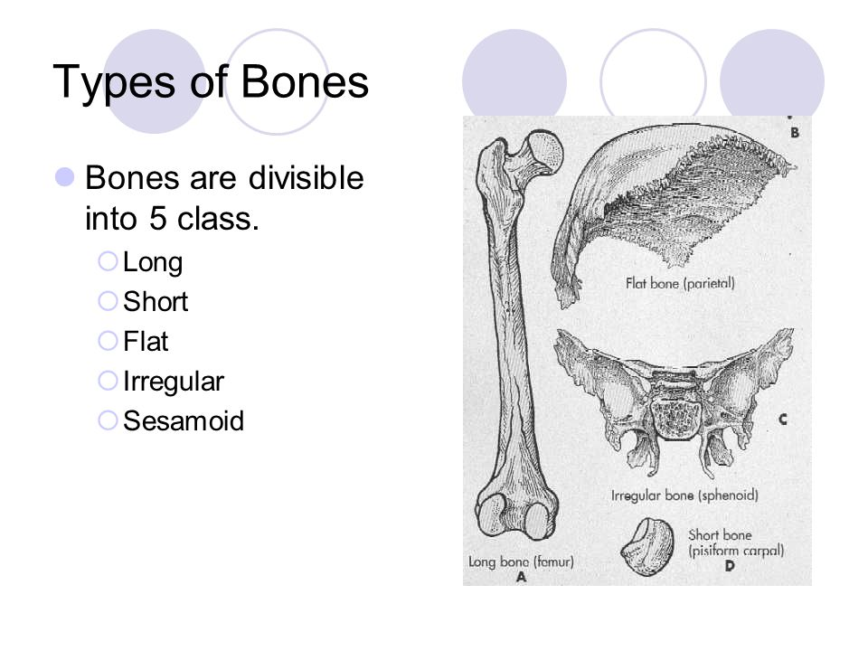 Types of Bones Bones are divisible into 5 class.  Long  Short  Flat  Irregular  Sesamoid