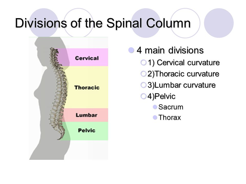 Divisions of the Spinal Column 4 main divisions 4 main divisions  1) Cervical curvature  2)Thoracic curvature  3)Lumbar curvature  4)Pelvic Sacrum
